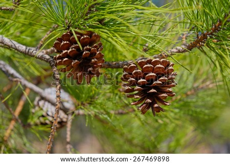 Pitch Pine trees with fresh brown pine cones and green pine needles - stock photo