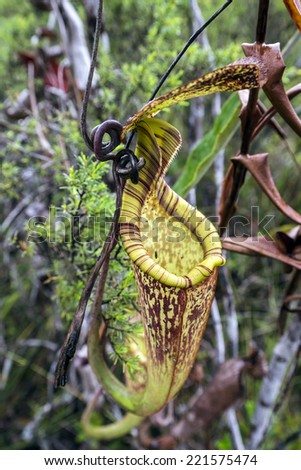 Pitcher Plant in Bako National Park, Borneo - stock photo