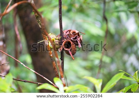 Pitcher plant in rainforest situated in Borneo, Malaysia - stock photo