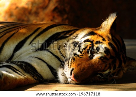 pitiful tiger forced to do something unnaturally. (being taken photos with tourists in the zoo) - stock photo