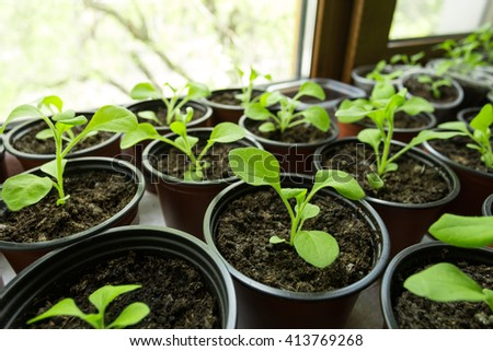 Pitunia seedlings in plastic flower pots on the window - stock photo