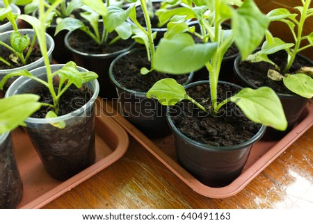 Pitunia seedlings in plastic flower pots on the window