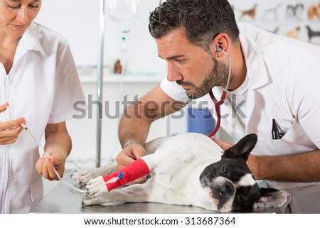 Placing a couple of vets via a French bulldog in clinical - stock photo