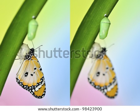 Plain Tiger Butterfly and Pupa - stock photo