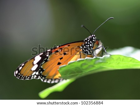 Plain Tiger Longwing Butterfly, also known as African Monarch Butterfly - stock photo