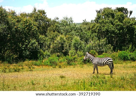 Plain zebra - stock photo