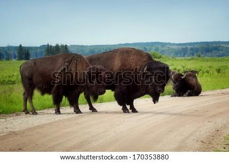 Plains Bison block the road at Lake Audy - Riding Mountain National Park, Manitoba - stock photo