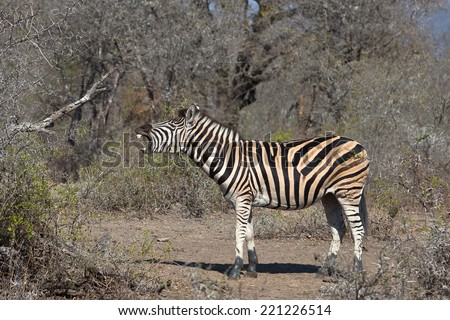 Plains  or Burchell's Zebra (Equus quagga) standing, mouth open bearing teeth, in a blurred natural setting, South Africa - stock photo