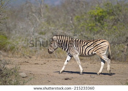 Plains  or Burchell's Zebra (Equus quagga) walking left against a natural African bush setting, Hluhluwe game reserve, South Africa - stock photo