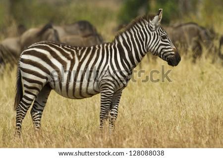Plains or Burhell's zebra, Serengeti National Park - stock photo