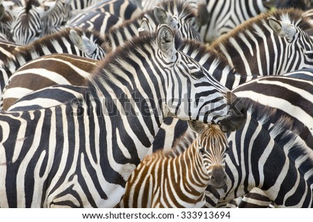 Plains zebra (Equus burchelli) portrait from mother with foal in herd, Serengeti national park, Tanzania.