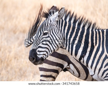 Plains Zebra (Equus quagga, also known as the common zebra or Burchell's zebra)  in Ngorongoro Crater in Tanzania, Africa.