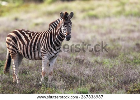 Plains Zebra (Equus quagga) in the Amakhala Game Reserve, Eastern Cape, South Africa.