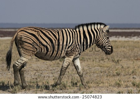 Plains Zebra (Equus quagga) in the Etosha National Park, Namibia