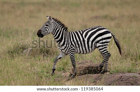 Plains Zebra (Equus Quagga) on Savannah, Maasai Mara, Kenya