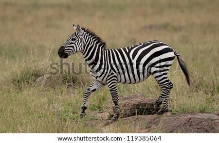 Plains Zebra (Equus Quagga) on Savannah, Maasai Mara, Kenya - stock photo