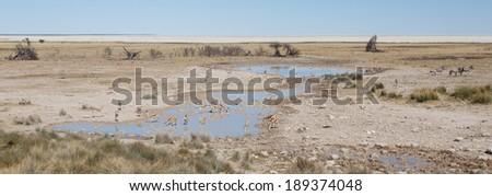 Plains Zebra in Etosha National Park, Namibia, Africa - stock photo