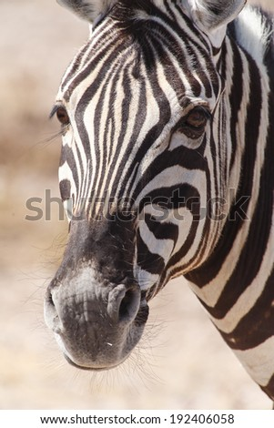 Plains Zebra in Etosha National Park, Namibia, Africa - stock photo