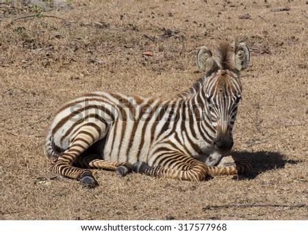 plains Zebra in natural habitat, South Africa - stock photo