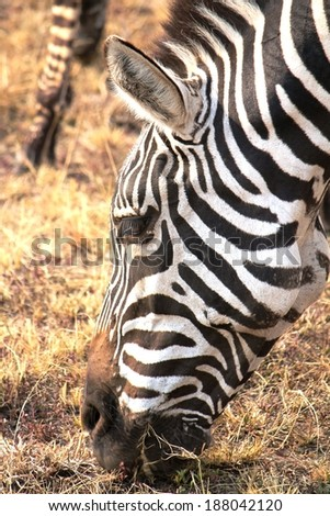 Plains zebra - Scientific name: Equus quagga, formerly burchelli. Head closeup eating dry grass in Maasai Mara National Reserve, Kenya, East Africa. - stock photo