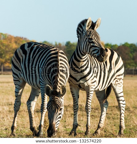 Plains zebra. Two striped zebra close-up in the African savanna. - stock photo
