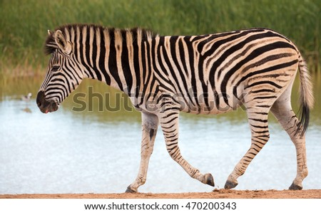 Plains zebra walking past a waterhole after drinking