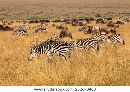 Plains zebras and blue wildebeest grazing in grassland, Masai Mara National Reserve, Kenya - stock photo