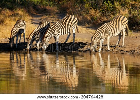 Plains Zebras (Equus burchelli) drinking water, Sabie-Sand nature reserve, South Africa - stock photo