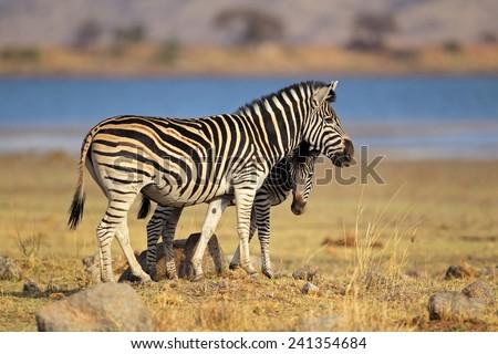 Plains Zebras (Equus burchelli), Pilanesberg National Park, South Africa  - stock photo