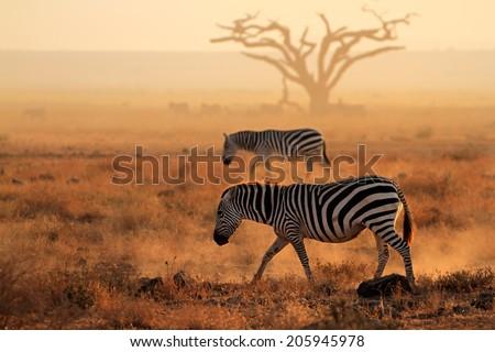 Plains zebras (Equus burchelli) walking on dusty plains, Amboseli National Park, Kenya  - stock photo