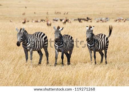 Plains zebras (Equus quagga) in Masai Mara, Kenya - stock photo