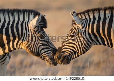 Plains zebras greeting, Etosha, Namibia - stock photo