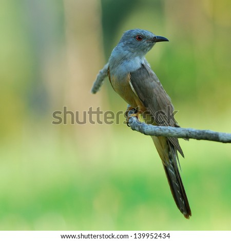 Plaintive Cuckoo is perching on branch.(Cacomantis merulinus)
