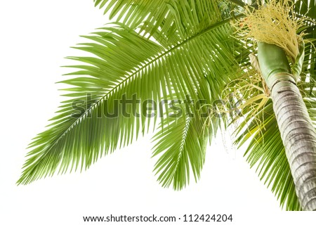 Plam tree on the white background - stock photo