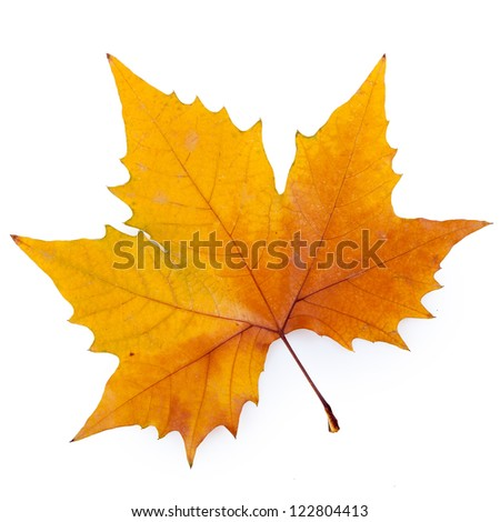 plane tree leaf isolated on white.(Keep path)