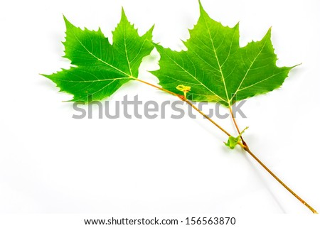 Plane tree, sycamore leaves and flowers isolated on white - stock photo