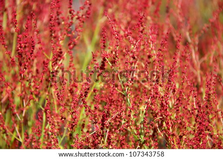 Plant background of flowering Rumex acetosella (Sheep Sorrel) - stock photo