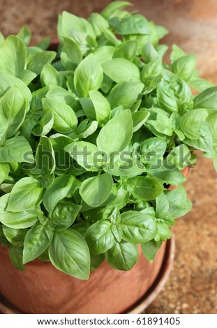 Plant basil in pots - stock photo