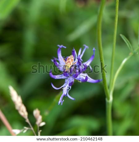 Plant Bug Calocoris Roseomaculatus on Round-headed Rampion - stock photo