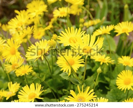 Plant Doronicum Plantagineum with yellow blossom at spring. - stock photo