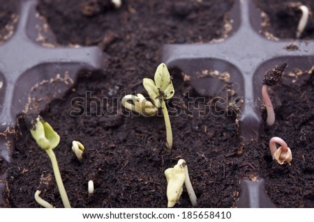 Plant growing from soil- Beginning  - stock photo