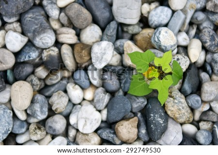 Plant growth from stone or pebbles  background. Tranquil scene for meditation and healthy life. Close up and macro leaves. Top view. - stock photo