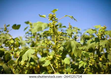 Plant in the field with blue sky - stock photo