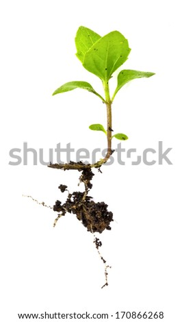 plant in white isolation (The germinated seedlings) - stock photo