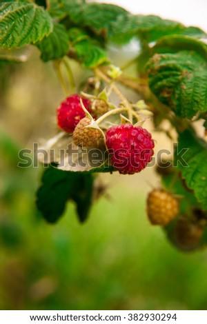 Plant of raspberries in green field, close-up, vertical.  - stock photo