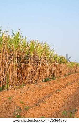 Plant of Sugarcane and blue sky,North East,Thailand - stock photo
