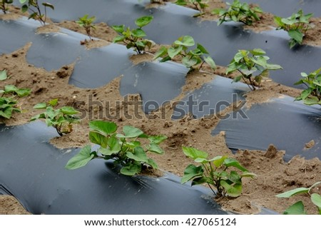 plant of sweet potato  - stock photo