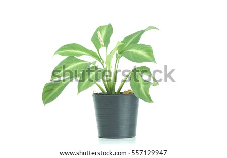 plant on black pot isolated on white background