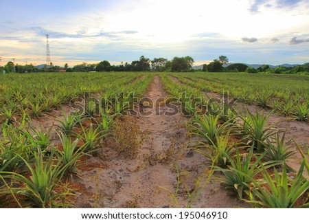 Plant pineapple on the hill  - stock photo