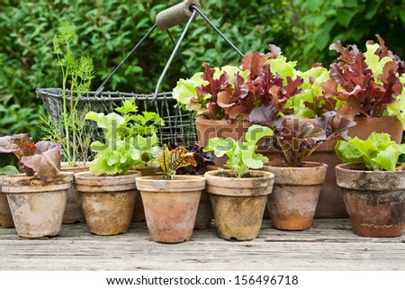 Plant pots with salad and herbs/planting/plant pots - stock photo